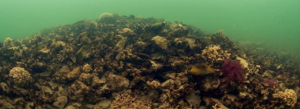 oyster reef underwater