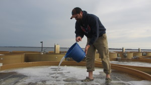 Man pours oyster larvae into setting tank filled with oyster shell