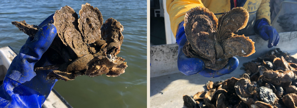 Little Choptank oyster clumps