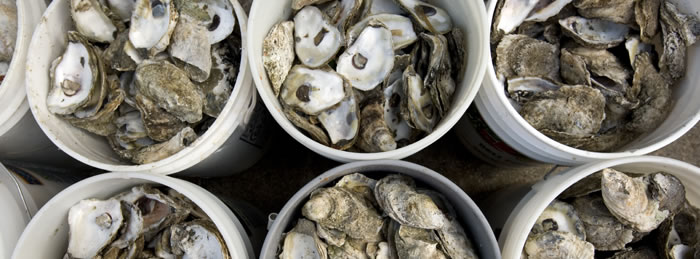 Oyster Shell Recycling Program Resumes in Ocean City, Maryland