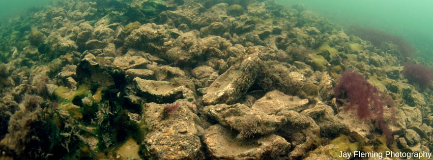 Oyster Recovery Partnershipoyster Facts Oyster Recovery Partnership