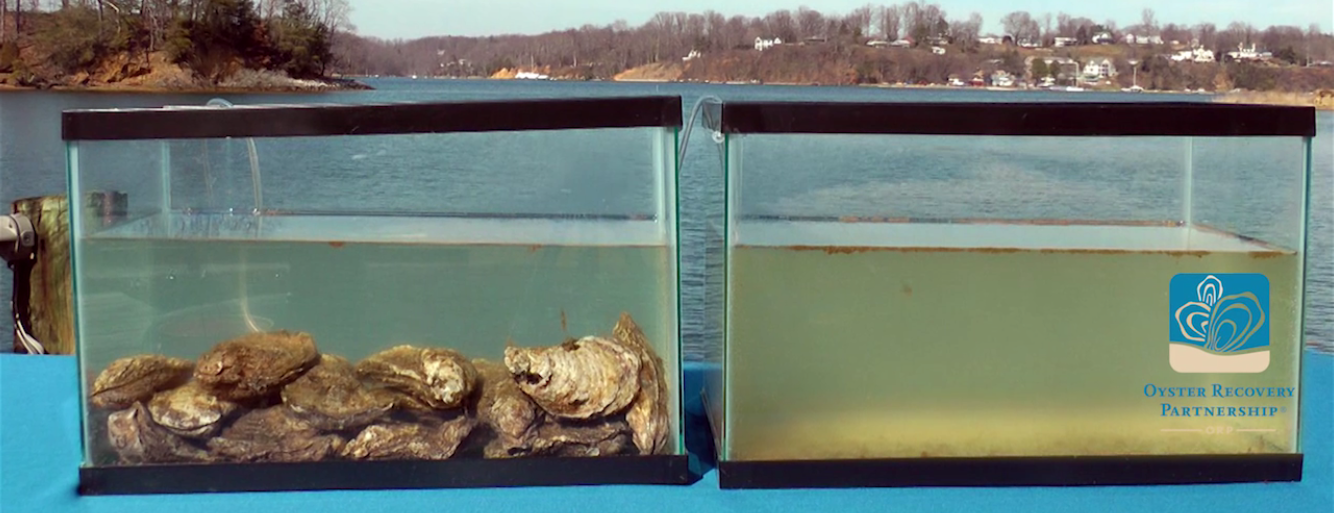 Oyster Filtration Video