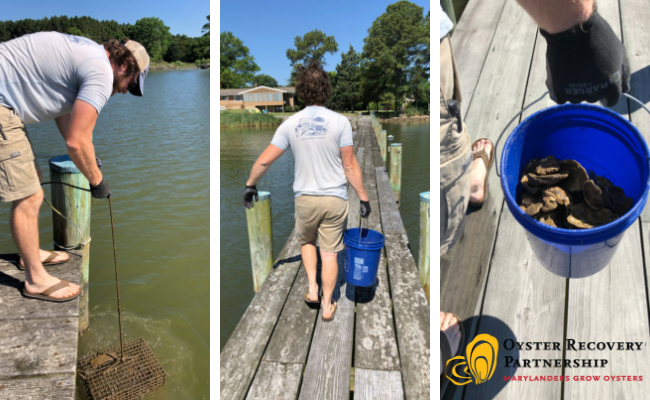 Volunteer collects oysters from below dock