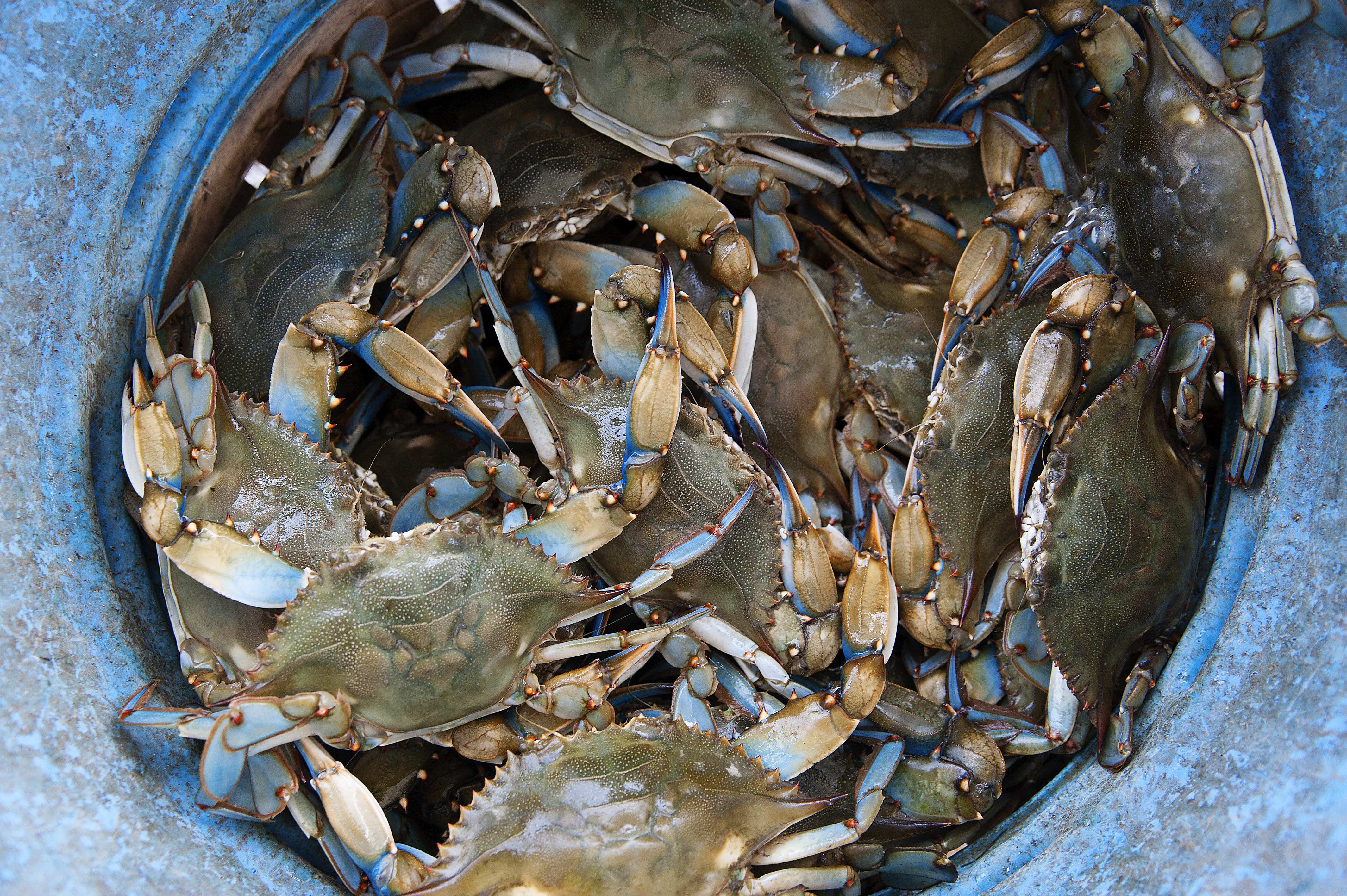 Healthy Chesapeake Seafood Series Part 2: BLUE CRABS