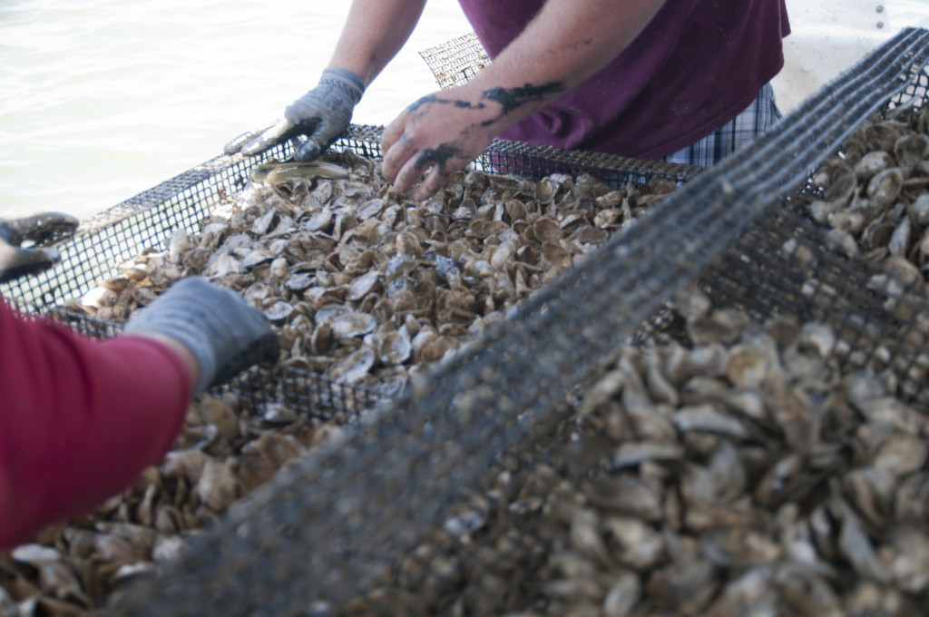Oysters grown in cages - aquaculture