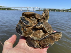 Oysters planted as part of Operation Build-a-Reef in 2020 - sampled from Wade || reef on May 15, 2021